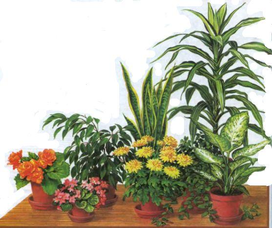 1. Подкормка растения бананами. Банановые шкурки мелко нарезают и высушивают. При пересадке растений насыпают слоем или просто перемешивают с почвой. Можно воспользоваться еще одним способом. Высушенные шкурки измельчают в кофемолке. Получается темно-коричневый порошок, который можно подсыпать перед поливом в горшок с растением, либо разводить с водой и использовать в качестве жидкой подкормки. Такая банановая подкормка