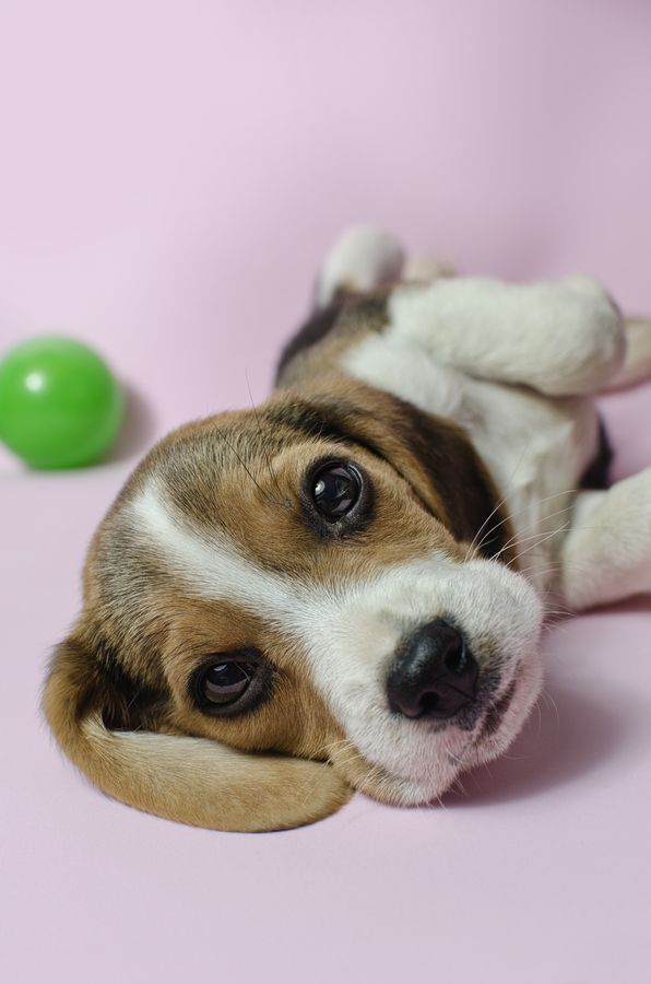 Beagle puppy named Dexter playing with a ball