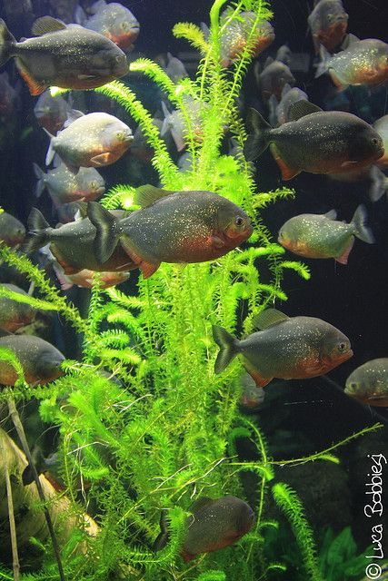 1000 images about piranha on pinterest raising for Piranha fish tank
