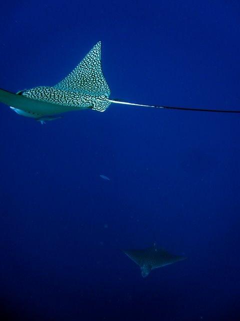 spotted eagleray off west Caicos: Caribbean Sea, Bucket List, Sea Creatures, Journies Caribbean, Caicos Islands, Ocean Waves, Spotted Eagleray, Deep Blue