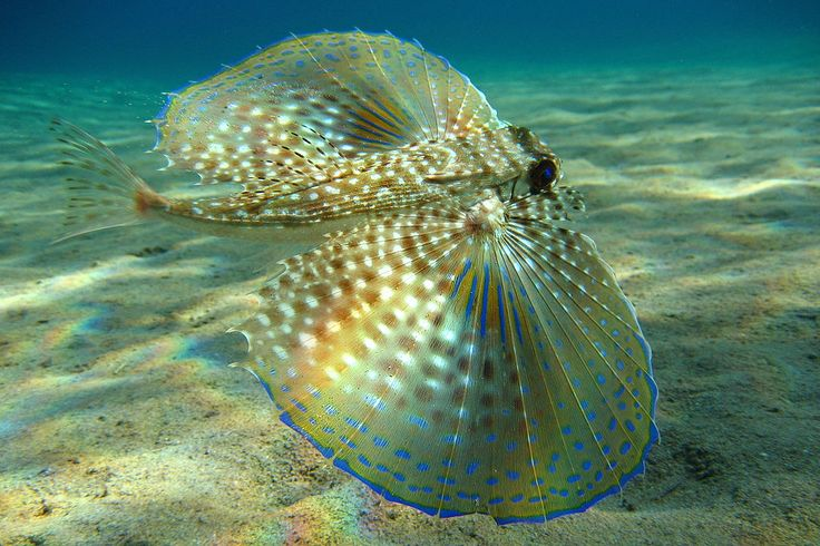 Flying Gunard by Beckmannjan via wikipedia: Beautiful! http://tinyurl.com/7qe3mpf   #Beckmannjan #Fish #Marine_Biology #wikipedia: Gurnard Dactylopterus, Sea Life, Sea Creatures, Fish, Marine Life, Ocean Life, Animal