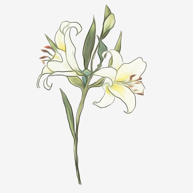 Lily Flowers White Flowers Png Transparent Clipart Image And Psd File For Free Download White Lily Flower Flower Illustration White Flower Background