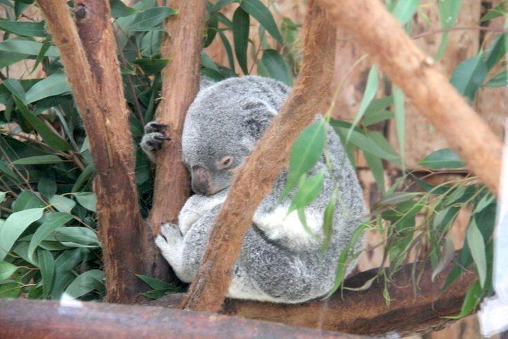 koala w ogrodzie zoologicznym w Lizbonie