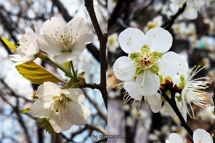 벚꽃-매화 비교 ▶벚꽃(왼쪽) : 가지에서 꽃가지가 뻗어나와 꽃이 피었다. ▶매화(오른쪽) : 꽃이 가지에 붙어서 핀다.