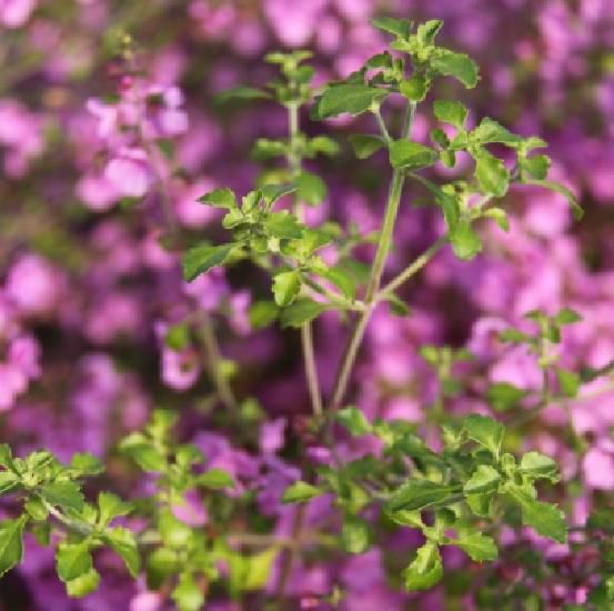 Native Fresh Thyme  The dynamic complex flavour of native thyme is perfect for poultry, lamb and pork dishes  Price - 25g - $6.50