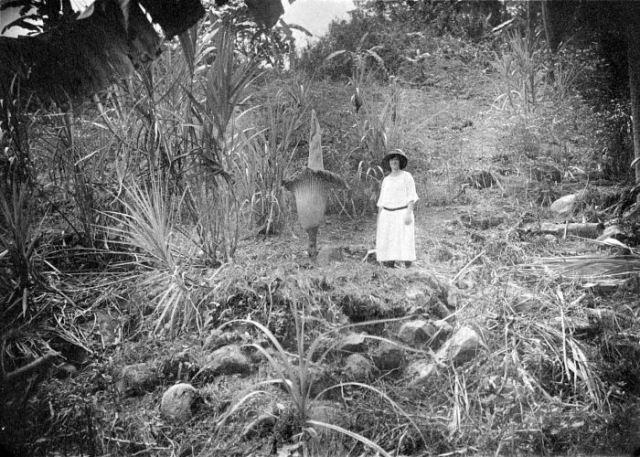 Amorphophallus titanum in habitat in 1925.
