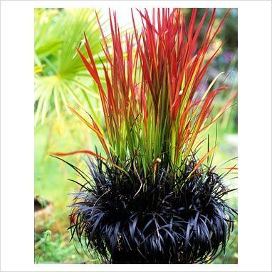 Potted Japanese blood grass, Imperata cylindrica 'Rubra' and black mondo, Ophiogogon planiscapus 'Nigrescens'