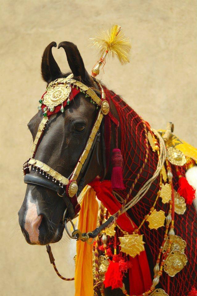 Stunning photo from Mandawa Safaris Mandawa - Marwari horse in full regalia.