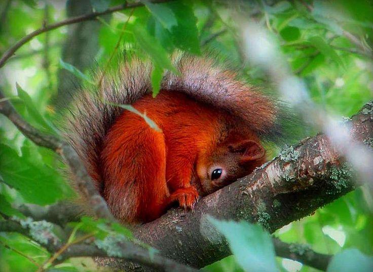 Shy red squirrel...