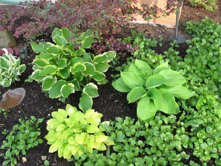 Low Maintenance Bushes For Shade Of Got Shade Grow Hostas Roundtree Landscaping Dallas