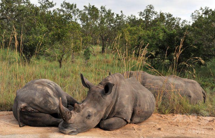 南アフリカ・クルーガー国立公園(Kruger National Park)で寝そべるサイ(2013年2月6日撮影、資料写真)。(c)AFP/ISSOUF SANOGO ▼13Aug2014AFP|南ア、密猟増加の国立公園からサイを避難させる計画 http://www.afpbb.com/articles/-/3023012 #Rhinoceros #Rhino #Rhinocerotidae #Rhinoceros Nashörner #Nashoerner #Renoster #Kifaru