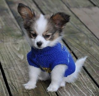 Papillon Puppy so adorable