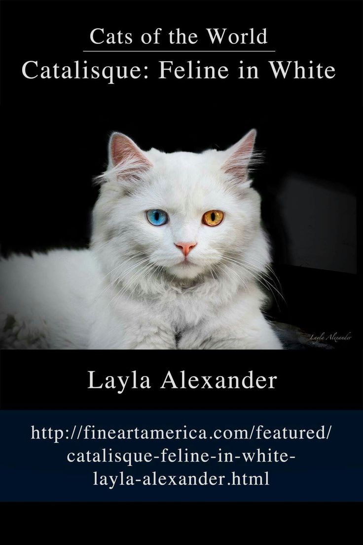 Cats of the World - Catalisque: Feline in White  A young Turkish Angora cat I met in a doorway in an Istanbul alleyway. She was quietly watching the passers by. http://fineartamerica.com/featured/catalisque-feline-in-white-layla-alexander.html?newartwork=true #caturday #cats #kitten #artprints #photography #gifts #decor #canvas #greetingcards #showercurtains #duvetcovers #tshirts #fashion #throwpillows #phonecase #mug #beachtowel #cosmeticcase #pets