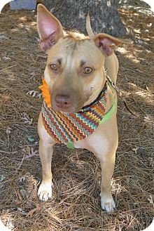 Helena, AL - American Pit Bull Terrier Mix. Meet Lee Anne, a dog for adoption. http://www.adoptapet.com/pet/16131133-helena-alabama-american-pit-bull-terrier-mix