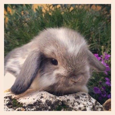 Ariete Nano Fata Perlata pezzato - Allevamento conigli Nani