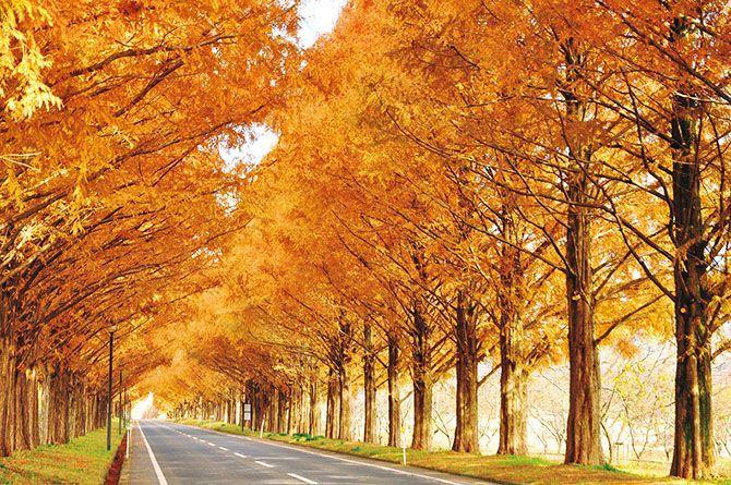 滋賀に行くなら知っておきたい!「メタセコイア並木」の5つの楽しみ方 1枚目の画像