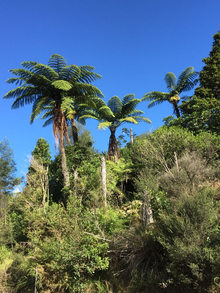 Giant ferns of New Zealand