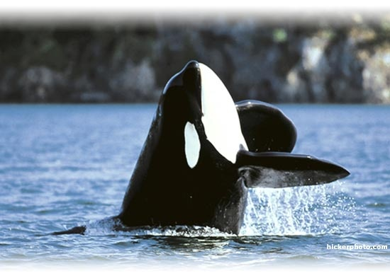 the life and natural environment of killer whales Marine chemical pollution  been released in large amounts into the natural environment as a result of industrial  pcbs pose a particular threat to whales,.