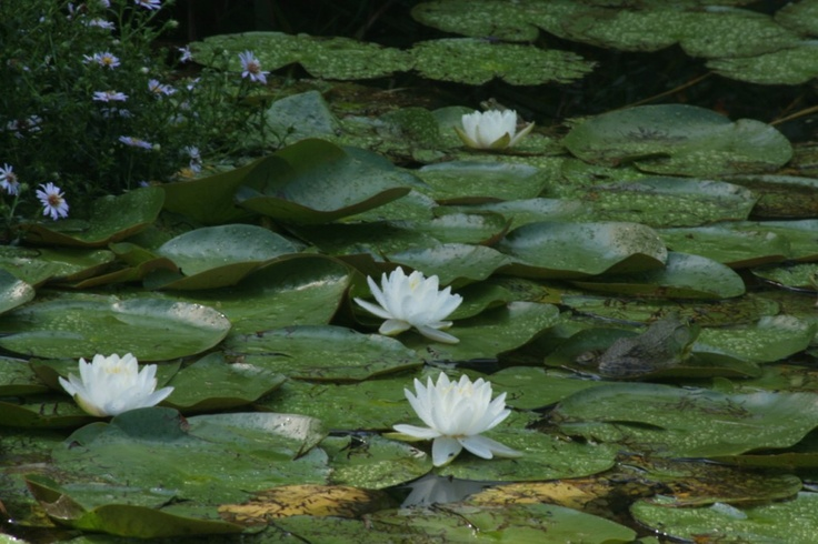 Pin by stella cosmo on jardines antiguos pinterest for Native pond plants