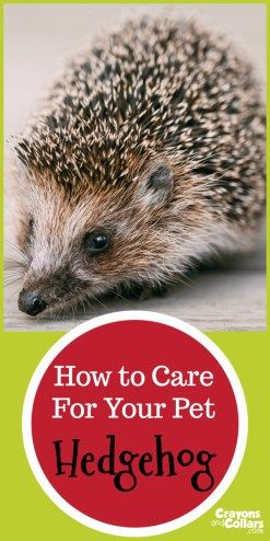 How to care for your pet hedgehog. Hedgehog facts, hedgehog diet, and hedgehog care for these adorable little critters.