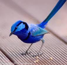 Image result for blue wren