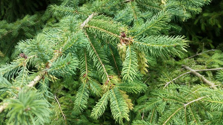 Douglas Fir (NZ) - (Pseudotsuga menziesii) - 5ml  Douglas Fir grows native on the west coast of the United States.  Planted for foresting purposes in the New Zealand it is now a wilding conifer making this a very sustainable essential oil.  This wonderful essential oil is distilled by Estate Aromatics in New Zealand, one of our exclusive partners.  New Zealand Douglas Fir Oil is distilled using a patented vacuum distillation process.