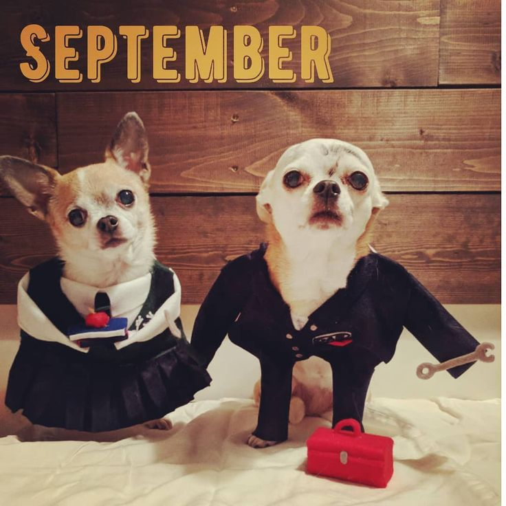 Fall is in the air in SEPTEMBER! Madison is headed back to school in her snazzy uniform books in hand and an apple for the teacher. Meanwhile our little labourer mechanic Gabby has been getting dirty and working hard but is ready for her labour day long weekend...aren't we all?! . . . . . #dogsofinstagram #chihuahuasofinstagram #onlychihuahuas #maddz #guppypuppy #madgab #christmascountdown #12months #september #backtoschool #schooluniform #teacherspet #mechanic #labourdayweekend #longweekend…