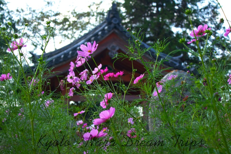The cosmos flowers bloom in autumn from mid September till mid November. The Hannya-ji Temple in Nara is famous  many visitors from all over Japan.