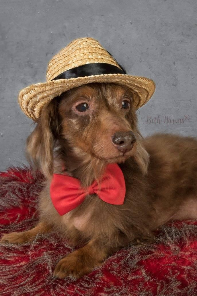 Fort Walton Beach, FL - Meet Beaker, a Petfinder adoptable Dachshund Dog located at The Rescued Rescuers, Inc. Fort Walton Beach, FL