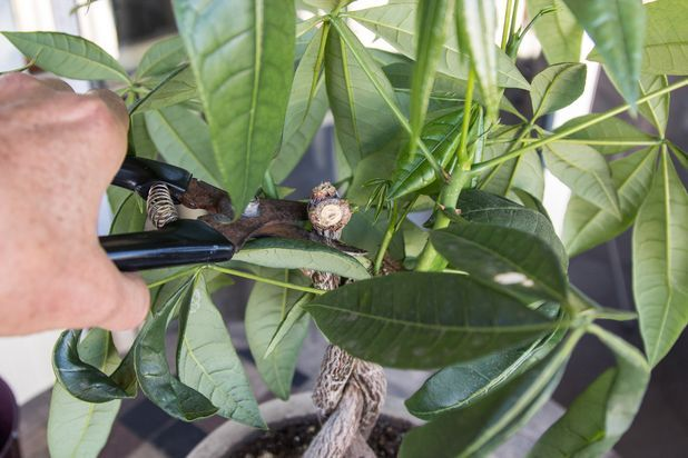 Care Instructions for a Money Tree Plant | Trees to plant ...
