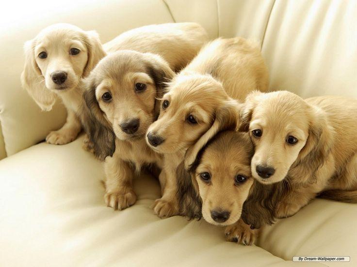 miniature golden retriever dachshund   Miniature Dachshund Dog