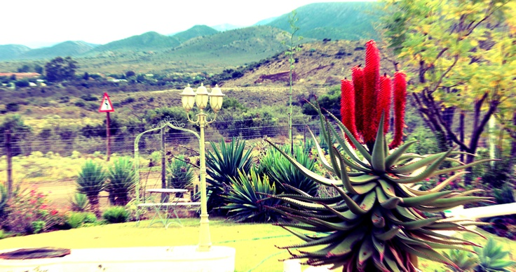 Aloes blooming in the #Karoo - Steytlerville #mohair