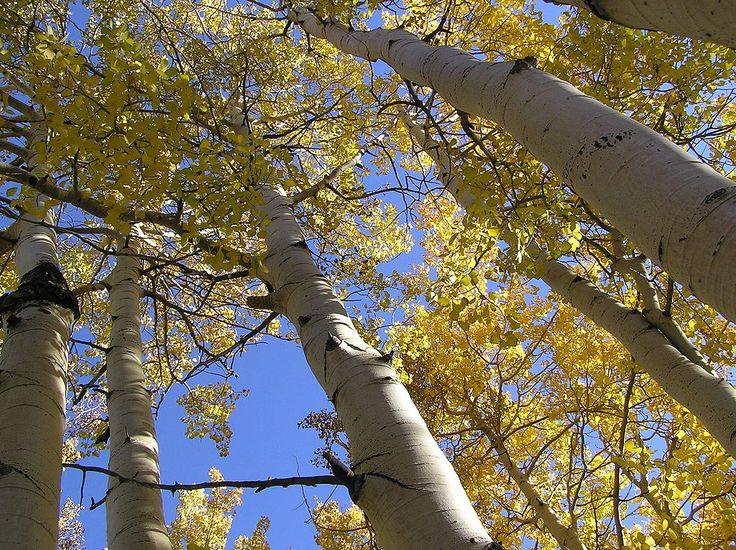 QuakiesSEP2005 - Pando (tree) - Wikipedia
