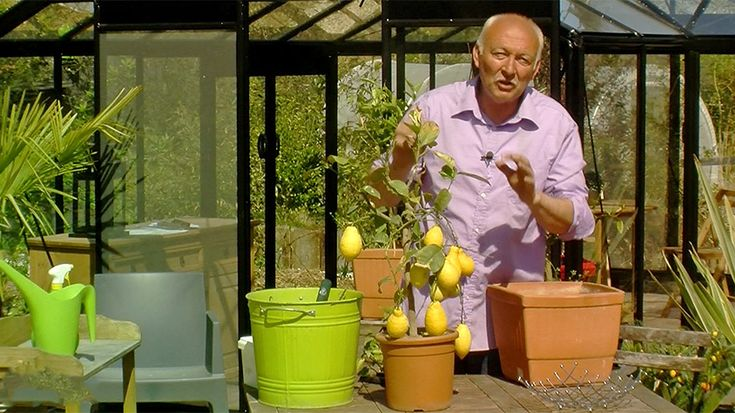 1000 id es sur le th me citronnier sur pinterest fuchsia for Comment tailler un citronnier