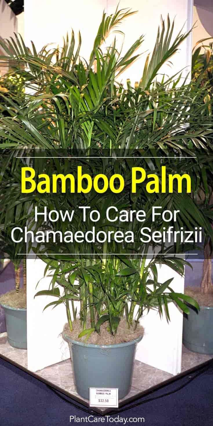 Bamboo Palm Plant How To Care For The Chamaedorea