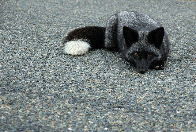 silver fox kit by matt knoth, via Flickr
