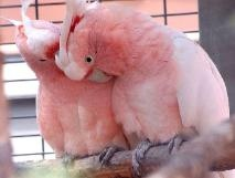 Preening Galah Cockatoos = Love