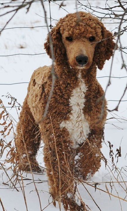 Juvenile red standard poodle in a puppy clip.