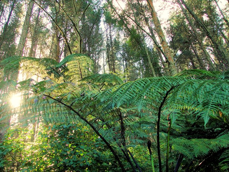 The sun shines through ponga fronds in the Papamoa Hills Reserve, NZ.