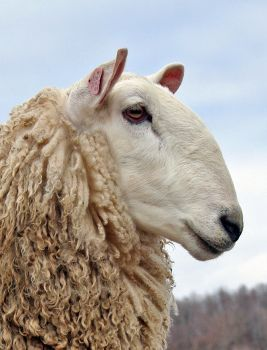 Border Leicester, prized by hand spinners for wool. Dual purpose breed.