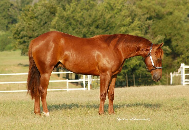 chestnut quarter horse very red chestnutsorrel quarter