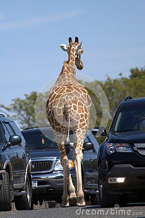Rear view of a giraffe. The giraffe is walking along an asphalt road between two rows of cars. Blue sky. Brown skin. Dark cars. The gray road. Giraffe is clamped with machines from both sides