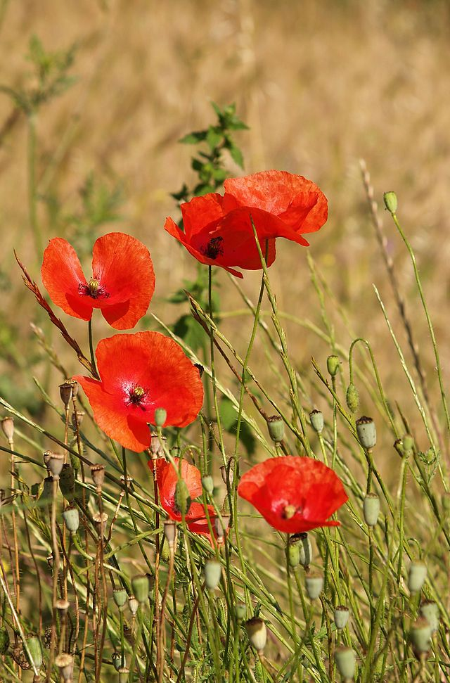 Papaver Rhoeas A Common Poppy Across Europe Papaver Poppies Bees Plants