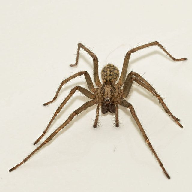 The giant house spider is a native of England, but it's known to live in houses in parts of the northwestern United States.