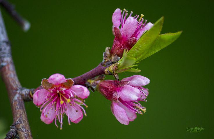 Peach flowers by Cristian Petri on 500px