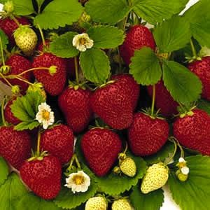 Tip on how to get a ton of strawberries.