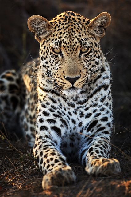 Leopard - Motswari Private Nature Preserve, Greater Kruger National Park, Mpumalanga, South Africa
