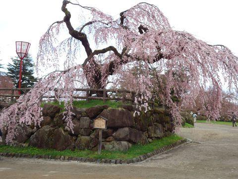 青森県の弘前城は言わずと知れた桜の名所。本州の最北の地に位置しながら雪に耐え、遅い春の訪れを喜ぶかのように咲き乱れます。その活き活きとした輝くような美しさには、りんごの産地ならではの秘訣がありました。他の桜とは一味違う、そんな弘前城の桜をご紹介いたします。