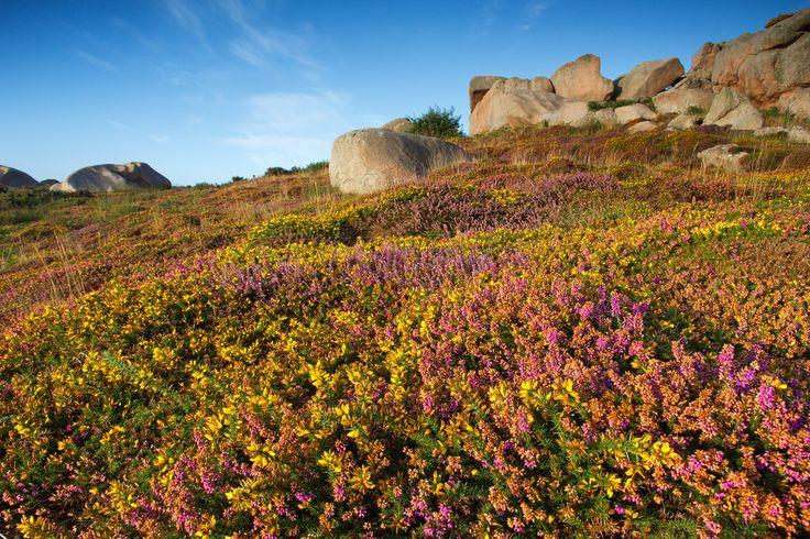 Blühende Heide und Ginster - Bretagne, Cote de Granit Rose, EF-S 15-85mm, Frankreich,