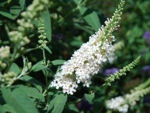Buddleia Davidii Buzz Ivory' `_Juillet-août-septembre_1.25m X 1m_Enlever les fleurs fanées pour prolonger la floraison. Le feuillage ne survivra pas à l'hiver et il est préférable de cultiver cet arbuste comme une plante herbacée vivace. En fait même si dans votre région le feuillage ne meurt pas complètement durant l'hiver, il est préférable de la rabattre au printemps pour favoriser une meilleure floraison. En zone 5 à 6, il est fortement recommandé de protéger la souche.